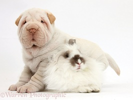 Shar Pei pup and fluffy rabbit