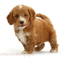 Cute Cockapoo puppy