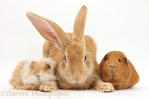 Flemish Giant Rabbit and Guinea pigs