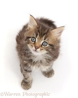 Brown tabby kitten, 6 weeks old, sitting and looking up