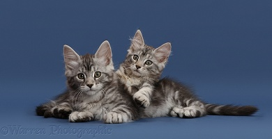 Silver tabby kittens on blue background