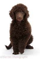 Chocolate Standard Poodle pup