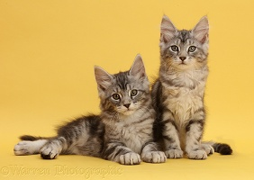 Silver tabby kittens on yellow background