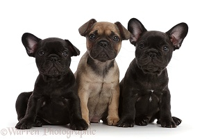 Three French Bulldog puppies, 6 weeks old