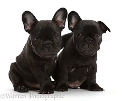 Two French Bulldog puppies, 6 weeks old, sitting