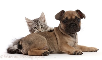 Silver Tabby kitten and French Bulldog puppy