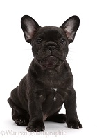 French Bulldog puppy, 6 weeks old, sitting