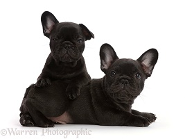 Two French Bulldog puppies, 6 weeks old