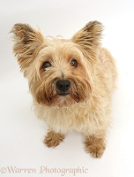 Cairn Terrier, sitting and looking up