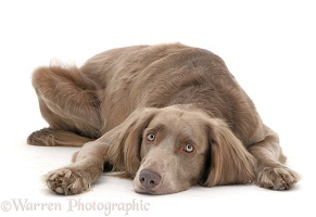 Long-haired Weimaraner dog lying, chin on floor