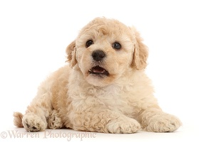 Cavapoochon puppy, 6 weeks old
