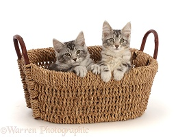 Silver tabby kittens in a basket