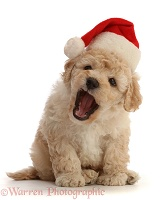 Cavapoochon puppy, 6 weeks old, wearing a Santa hat