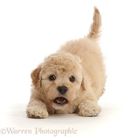 Playful Cavapoochon puppy, 6 weeks old, in play-bow