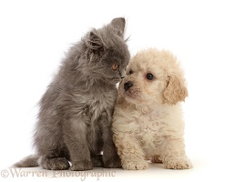 Cavapoochon puppy and British Blue kitten