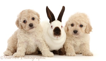 Cavapoochon puppies, 6 weeks old, and Sable-point rabbit