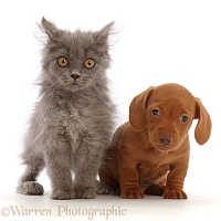 British Blue kitten and red Dachshund puppy