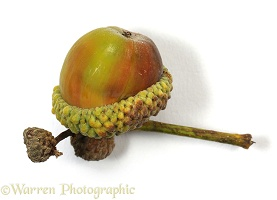 An acorn, the seed of an Oak tree
