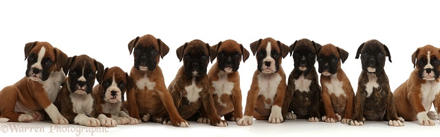Eleven Boxer puppies, 6 weeks old, sitting in a row