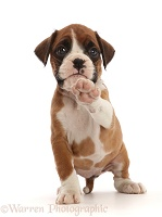 Boxer puppy, 6 weeks old, pointing with a paw
