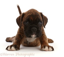 Boxer puppy, 6 weeks old, stretching out