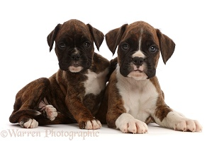 Boxer puppies, 6 weeks old