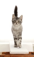 Silver tabby kitten on a catwalk