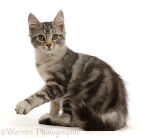 Silver tabby kitten pointing