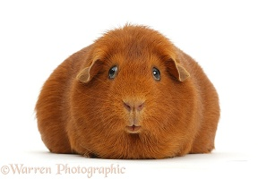 Pregnant red Guinea pig