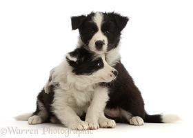 Two black-and-white Border Collie puppies