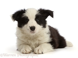 Black-and-white Border Collie puppy, 7 weeks old