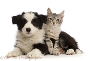Silver tabby kitten and black-and-white Border Collie puppy
