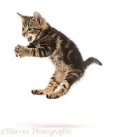 Tabby kitten leaping and grasping