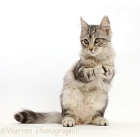 Silver tabby kitten with clasped paws
