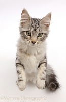 Silver tabby kitten standing and looking up