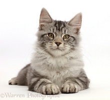 Silver tabby kitten lying with head up