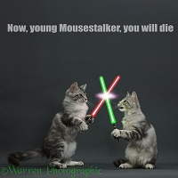 Silver tabby kittens fighting with light sabres