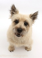 Cairn Terrier dog sitting and looking up