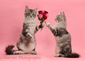 Silver tabby kitten, offering roses to another