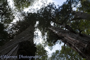Looking up trunk of Alerce trees, Los Alerces National Park