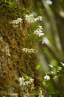 White flowers, Los Alerces National Park, Argentina