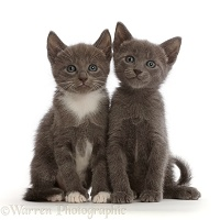 Blue and blue-and-white kittens, sitting