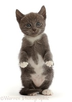 Blue-and-white kitten with paws up