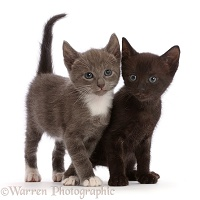 Blue-and-white and black kittens