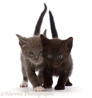 Blue-and-white and black kittens, walking