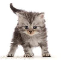 Silver tabby Persian-cross kitten