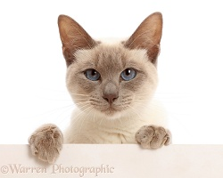 Blue-point Birman-cross cat with paws over