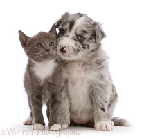 Blue merle Border Collie puppy and blue bicolour kitten