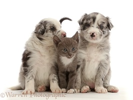 Blue merle Border Collie puppies and blue bicolour kitten