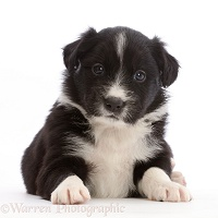Black-and-white Border Collie puppy, lying with head up